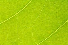 叶子纹理或叶子背景网站模板、明信片、装饰和农业构思设计的 免版税库存照片