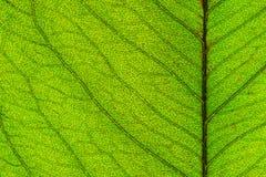 叶子纹理的宏观图片 库存图片