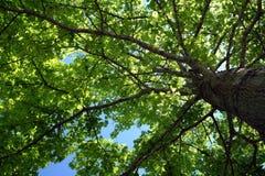 叶子结构树 库存图片