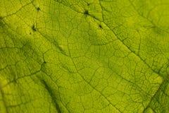 叶子结构照片  图库摄影