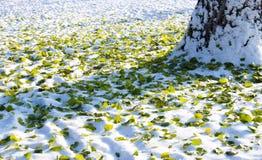 叶子绿色和黄色在雪 免版税库存图片