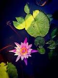 叶子花手段水瓣莲花蓝色桃红色绿色室外远足河池塘 免版税库存照片
