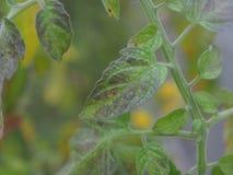 叶子蕃茄缺乏营养素 库存照片