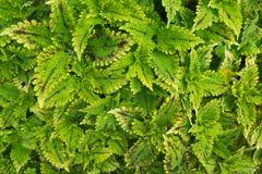 叶子藤充分的绿色纹理背景庭院叶子墙壁  库存图片