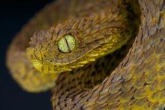 叶子蛇蝎/Atheris subocularis 免版税库存照片