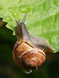 叶子蜗牛 图库摄影