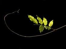 叶子蝗虫春天结构树 免版税库存图片