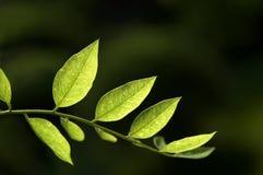 叶子蝗虫春天结构树 免版税库存照片