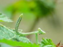 叶子螳螂祈祷 库存照片