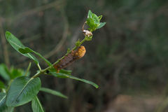 叶子蠕虫 免版税库存照片