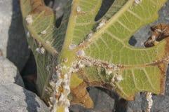 叶子被传染的无花果寄生生物 库存图片