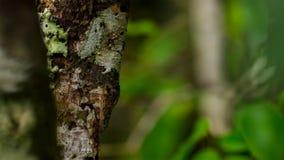 叶子被盯梢的壁虎,Uroplatus sikorae,壁虎的种类以能力改变它的肤色匹配它的周围 免版税库存图片