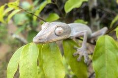 叶子被盯梢的壁虎/Uroplatus phantasticus 库存照片