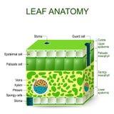 叶子解剖学 传染媒介图 向量例证