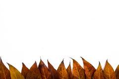 叶子隔绝了背景 免版税库存图片