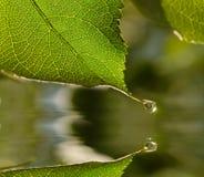 叶子雨珠 库存图片