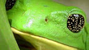叶子青蛙与金黄眼睛的Pachymedusa dacnicolor 股票录像