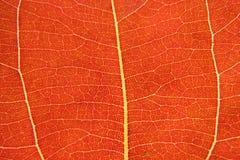 叶子静脉 库存图片