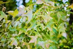 叶子颜色变动 库存照片