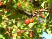 叶子,树,冬天莓果! 库存图片