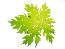叶子,植物,叶子番木瓜,烹调与白色背景隔绝的零件 图库摄影