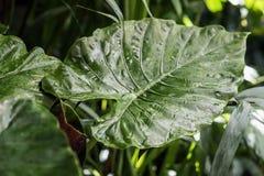 叶子,深绿叶子,新异乎寻常的植物的样式宏观照片自然绿色热带纹理  摘要 免版税库存图片