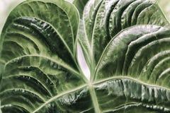 叶子,深绿叶子,新异乎寻常的植物的样式,背景宏观照片自然绿色热带纹理  库存照片