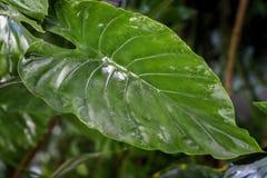 叶子,深绿叶子,新异乎寻常的植物的样式,背景宏观照片自然绿色热带纹理  免版税库存照片