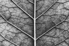 叶子,黑白照片宏观纹理  免版税库存照片