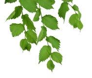 叶子 与绿色叶子的榆树 Isolatedl 库存照片