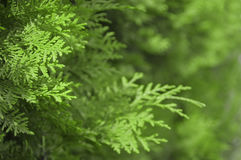 叶子绿叶背景  免版税图库摄影