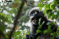 叶子猴子 免版税库存照片