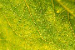 叶子结构的一个美丽的特写镜头 向日葵叶子宏指令反对太阳的 库存照片
