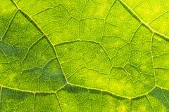 叶子结构的一个美丽的特写镜头 向日葵叶子宏指令反对太阳的 免版税库存图片