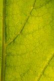叶子结构的一个美丽的特写镜头 向日葵叶子宏指令反对太阳的 库存图片
