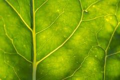 叶子结构的一个美丽的特写镜头 向日葵叶子宏指令反对太阳的 免版税图库摄影