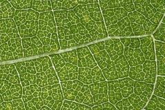 叶子结构 库存图片