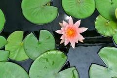 叶子绿色莲花桃红色 库存照片