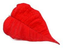 叶子细节复活节植物一品红 库存照片