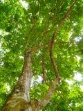 绿叶树 库存图片