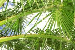 叶状体棕榈树 库存照片