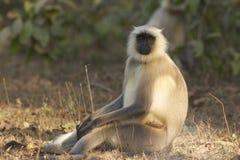 叶猴猴子 免版税图库摄影