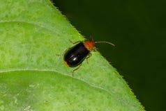 从叶甲科家庭的甲虫 免版税库存图片