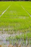 绿叶米调遣在雨季期间在泰国的乡下 库存图片