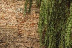 叶茂盛分支和砖墙在历史建筑在布鲁日的市中心 图库摄影