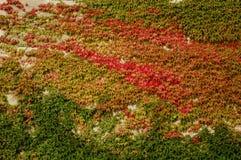 叶茂盛墙壁 免版税库存图片