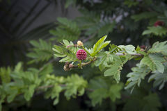 叶茂盛热带植物用红色莓果 免版税库存图片