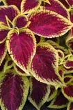 叶茂盛的背景 免版税库存照片