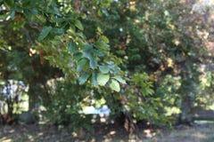 叶茂盛结构树 免版税库存图片