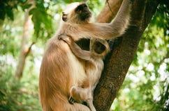 叶猴在印度 免版税图库摄影